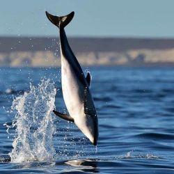 La especia más vista por la zona es el delfín oscuro o de Fitzroy.