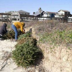 Los voluntarios colocan árboles de Navidad con hojas perennes en la arena de Surfside Beach.