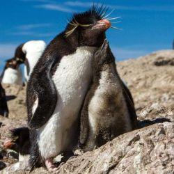 Actualmente en Argentina existen varias especies de pingüinos, todos ellos ubicados en la Patagonia.