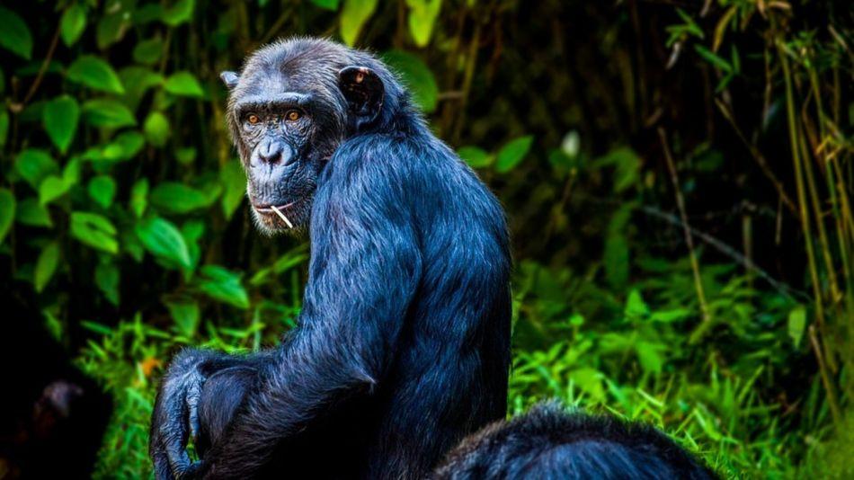 chimpances sierra leona