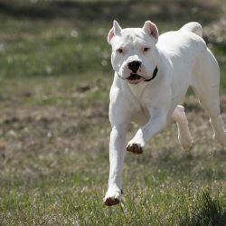 El dogo argentino fue creado por el médico argentino Antonio Nores Martínez con la idea de conseguir el perro de caza perfecto para las especies que entonces abundaban en el país.
