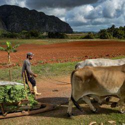 Un agricultor lleva hojas de tabaco a un establo de secado en una plantación de tabaco en Viñales, Cuba. - Los agricultores cubanos cultivan con especial cuidado las hojas de los mundialmente famosos puros habanos, una de cuyas marcas líderes, Cohiba, celebra su 55 aniversario este año.   Foto:Yamil Lage / AFP