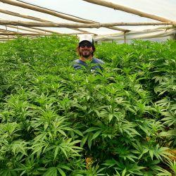 Facundo Garretón en uno de los cultivos de cannabis que administra en Uruguay | Foto:CEDOC