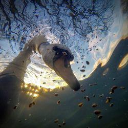 """""""Sunrise Mute Swan Feeding Underwater"""", fue la ganadora del primer premio en la categoría """"British Waters Compact""""."""
