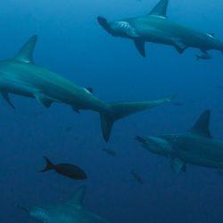 La sobrepesca es una de las principales causales del incremento en la merma de la población de los tiburones.