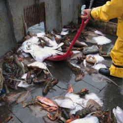 Según los especialistas, la sobrepesca es una de las principales causas de la merma en la población de rayas y tiburones.bdes