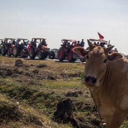 Una vaca observa cómo los agricultores que viajan en tractores en un convoy participan en una manifestación contra el golpe militar en Thongwa, en las afueras de Yangon. | Foto:STR / AFP