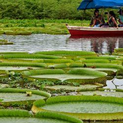 La gente en una embarcación observa a Victoria cruzianas -especie de la familia de los nenúfares Nymphaeaceae- (Yacare Yrupe en guaraní), que aparecen cada tres o cuatro años en gran número y tamaño en el río Paraguay, en Piquete Cue, al norte de Asunción. | Foto:Norberto Duarte / AFP