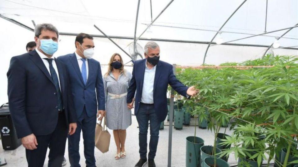 Gerardo Morales muestra las plantas de cannabis