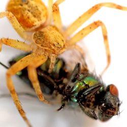 Las arañas son grandes cazadoras de otras plagas, como los mosquitos, las moscas y las polillas.