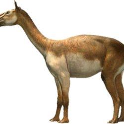 Entre los hallazgos, se encontraron restos del Macrauchenia.