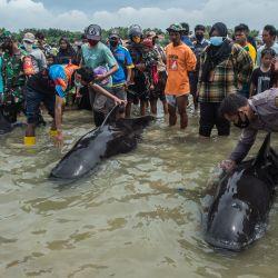 La gente intenta salvar a las ballenas piloto de aleta corta varadas en Bangkalan, isla de Madura, ya que unas 49 ballenas piloto han muerto después de un varamiento masivo en la costa de la isla principal de Java en Indonesia que provocó una importante operación de rescate. | Foto:Juni Kriswanto / AFP