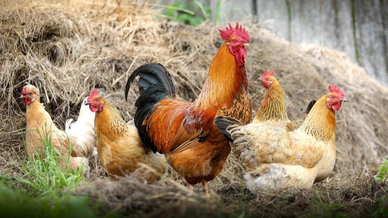 Alerta sanitaria mundial ante la primera transmisión de gripe aviar H5N8 a un humano.