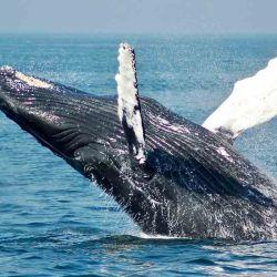 La pesca y la caza indiscriminada de ballenas para fines comerciales e industriales reducen notoriamente este valioso beneficio para el planeta.