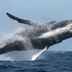 Las ballenas contribuyen a enfriar la temperatura del planeta.