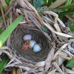 En 2019, los nidos protegidos registraron un 81 % de éxito frente a un 24 % de nidos que no recibieron protección