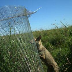 El zorro es uno de los principales depredadores del tordo amarillo.
