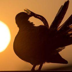 Una paloma cebra acicala sus plumas mientras el sol se pone en Bangkok. AFP | Foto:AFP