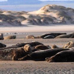 Esta fotografía muestra focas grises y terneros marinos acostados en una playa cerca de Calais, en el norte de Francia.AFP | Foto:AFP