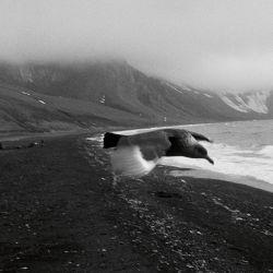 Solitario, un pájaro planea sobre una brumosa y volcánica isla antártica. | Foto:Adriana Lestido