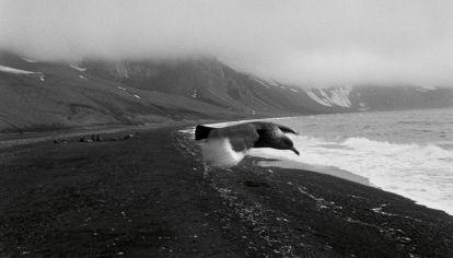 Solitario, un pájaro planea sobre una brumosa y volcánica isla antártica.