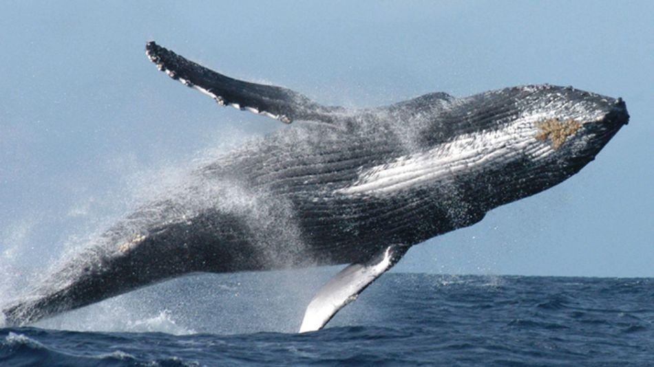 ¿Por qué las ballenas ayudan a combatir el cambio climático?