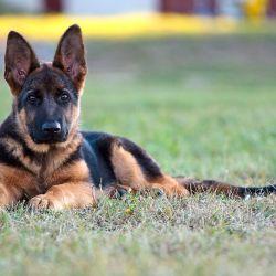 El pastor alemán se desempeña muy bien como perro guardián.