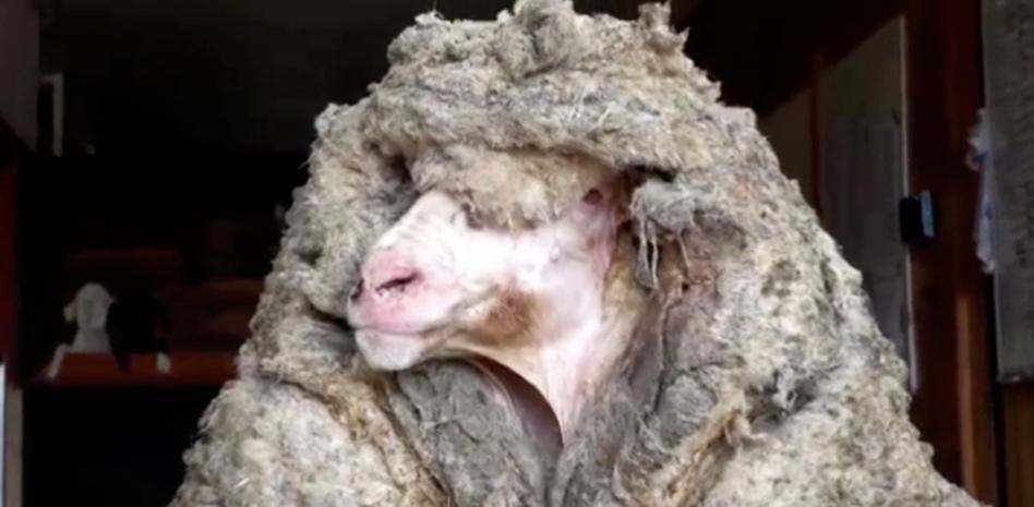 Video: rescataron a una oveja salvaje con 35 kilos de lana