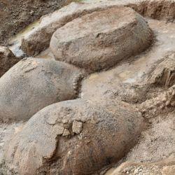 Los gliptodontes estaban en posición de vida y alineados hacia el Oeste.