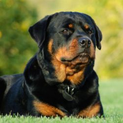 La gran complexión y su fuerte dentadura hacen que el rottweiller sea uno de los perros más fuertes del mundo.