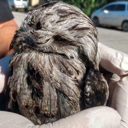 El urutaú es un misterioso pájaro de hábitos nocturnos.