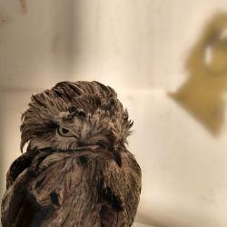 Cuando los pichones de esta especie nacen, durante los primeros 40 días tanto el macho como la hembra lo contienen entre sus alas.