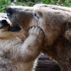 Un oso polar llamado Sessi y su cachorro, Kara, se ven en su recinto en el parque zoológico y botánico de Mulhouse, este de Francia. | Foto:AFP