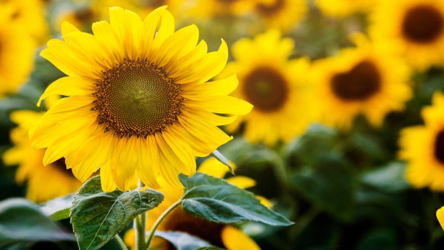 heliotropismo Es la famosa capacidad de esta flor de orientarse siempre en la dirección del sol, de ahí su nombre.