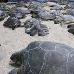 La inesperada ola de frío fue la causal de que miles de tortugas quedaran varadas en el Golfo de México.