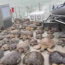 Entre las tortugas varadas hay algunas especies en peligro de extinción, como las tortugas verdes, las caguamas y las tortugas de Kemp.