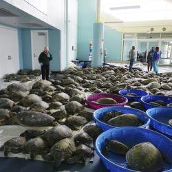 Si bien hasta el momento los voluntarios lograron rescatar más de 7.000 tortugas, aún quedan miles varadas.