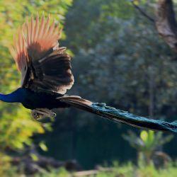 Un pavo real toma un vuelo en el Parque Zoológico Nacional de Nueva Delhi, en el Día Mundial de la Vida Silvestre. | Foto:AFP