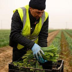 Un trabajador migrante recolector de flores de Rumania recoge sus narcisos cosechados para transportarlos a la cámara frigorífica en la granja TaylorsBulbs cerca de Holbeach en el este de Inglaterra.  | Foto:AFP