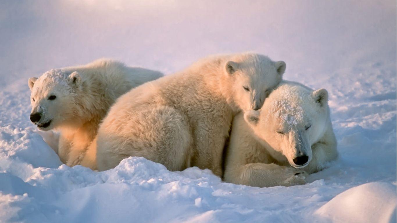 Por el deshielo, los osos polares están empleando cuatro veces más de energía para sobrevivir.