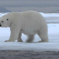 debenLos osos polares deben desplazarse grandes distancias para poder alimentarse, lo que les demanda un mayor desgaste energético.