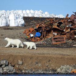 Algunos osos optan por alimentarse de los cadáveres de grandes mamíferos varados en la costa.