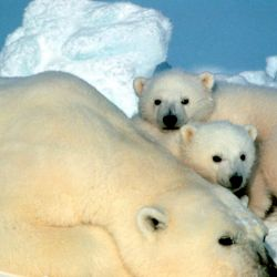 Nadar supone un coste energético para el oso 4,3 veces superior que el tasado cuando elige caminar.