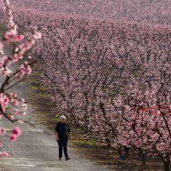 Una mujer pasea por una carretera que cruza un huerto de duraznos en flor en Aitona.    Foto:AFP
