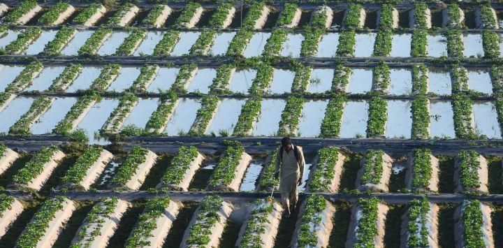 Una trabajador agrícola fumiga fresas en un campo en Lahore.