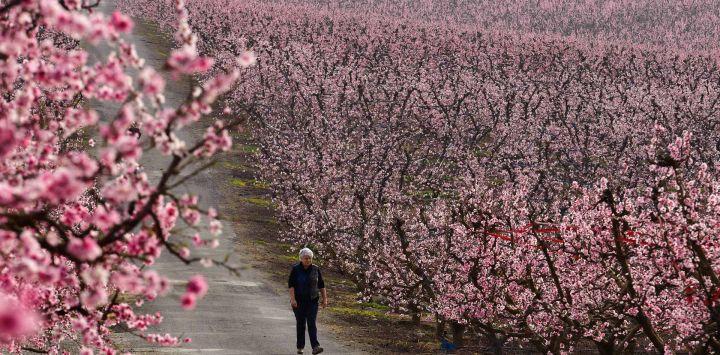 Una mujer pasea por una carretera que cruza un huerto de duraznos en flor en Aitona.