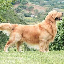 De origen inglés, los golden retriever son considerados uno de los perros más hermosos del mundo.