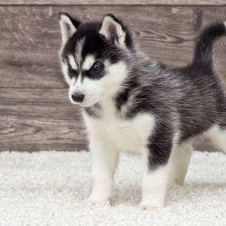 Característico por su pelaje blanco y gris y sus profundos ojos azules o verdes, el husky siberiano es un can muy atractivo.