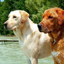 Los perros labradores poseen una cabellera larga y suave que le dan un toque de gran prestancia y belleza.