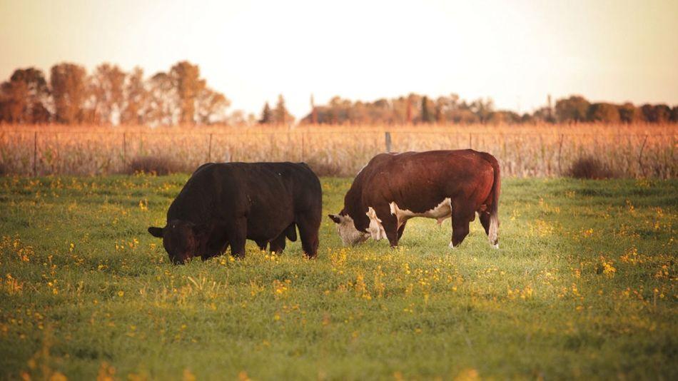 Reproductores bovinos